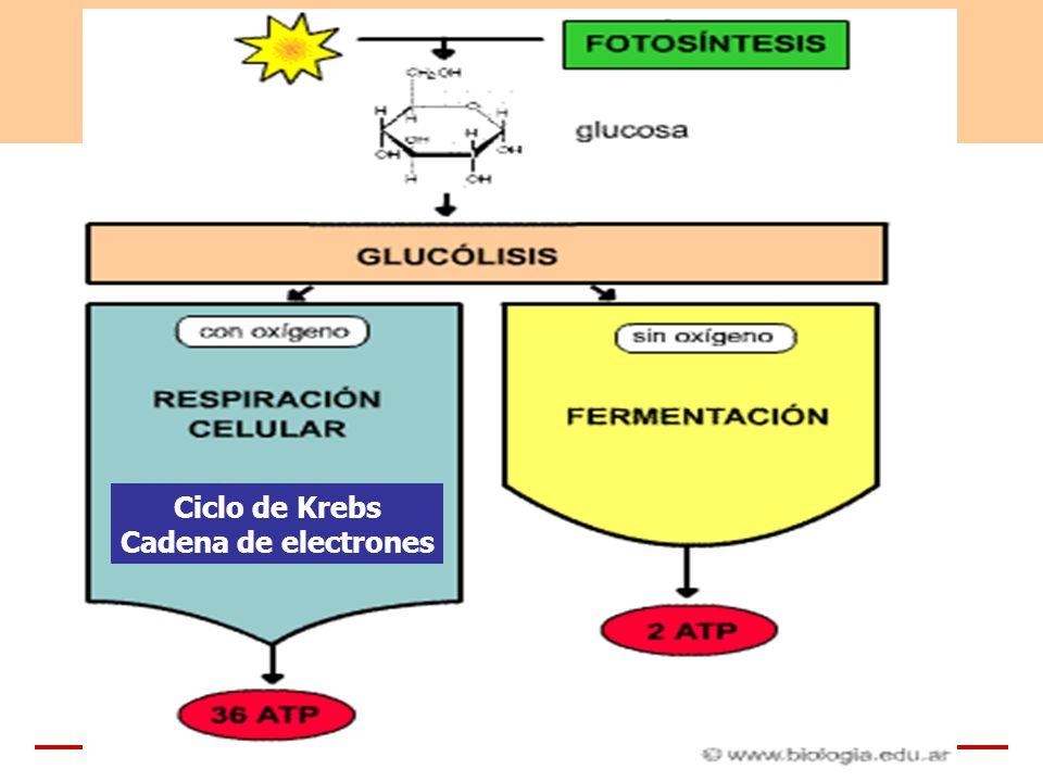 Ciclo de Krebs Cadena de electrones