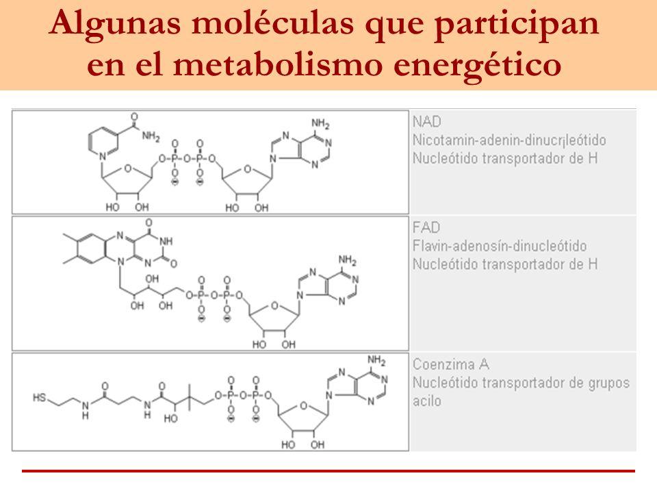 Algunas moléculas que participan en el metabolismo energético