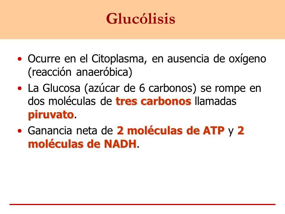 Glucólisis Ocurre en el Citoplasma, en ausencia de oxígeno (reacción anaeróbica)