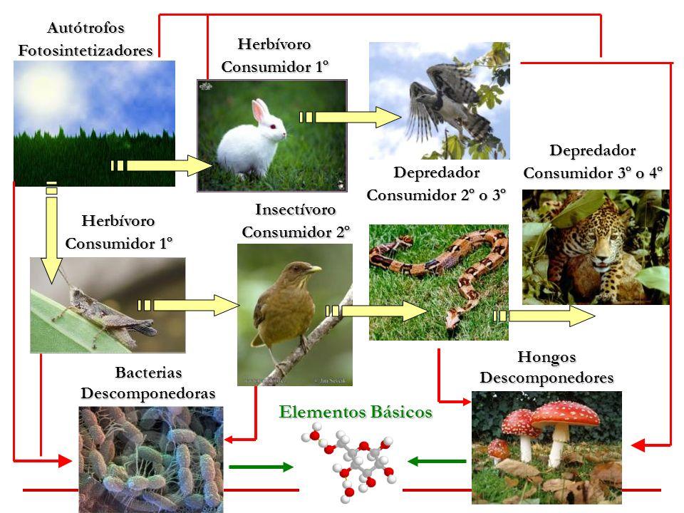 Elementos Básicos Autótrofos Fotosintetizadores Herbívoro