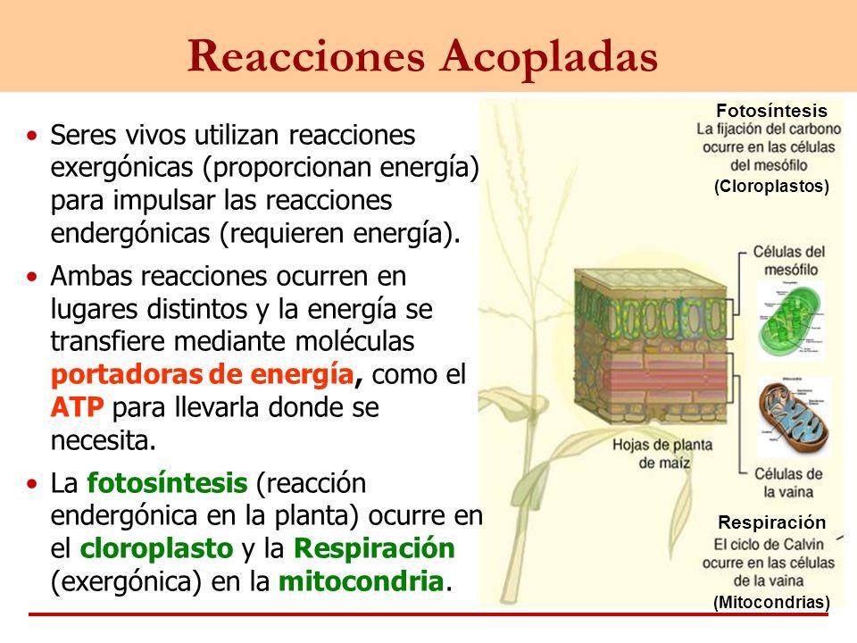 Reacciones Acopladas Fotosíntesis. Respiración. (Mitocondrias) (Cloroplastos)