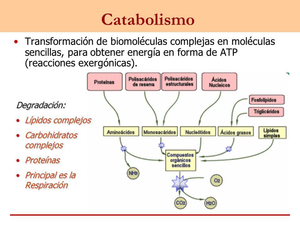 Catabolismo Transformación de biomoléculas complejas en moléculas sencillas, para obtener energía en forma de ATP (reacciones exergónicas).