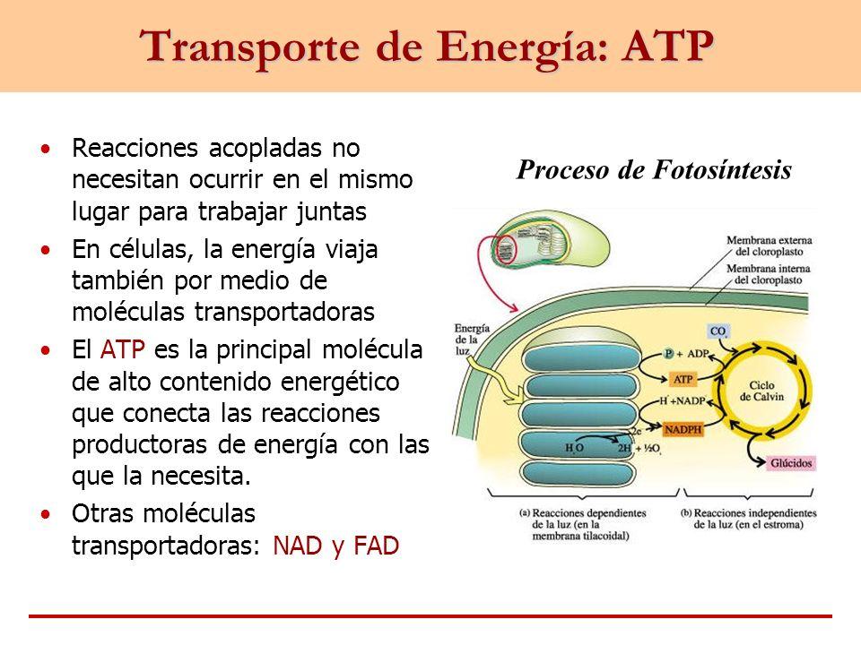 Transporte de Energía: ATP