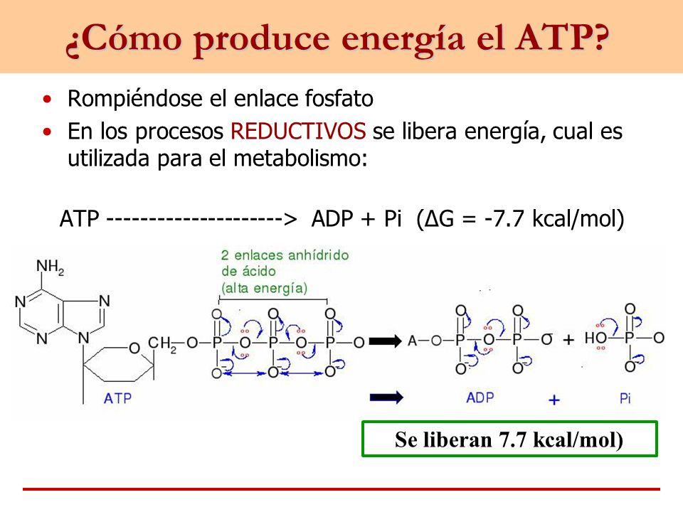 ¿Cómo produce energía el ATP