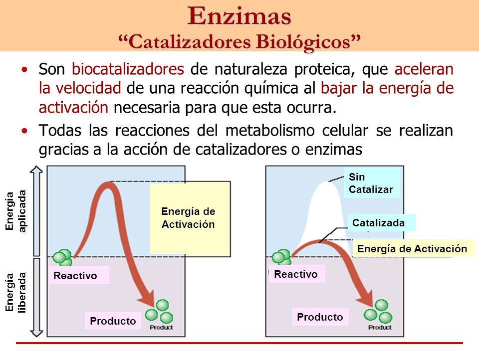 Enzimas Catalizadores Biológicos