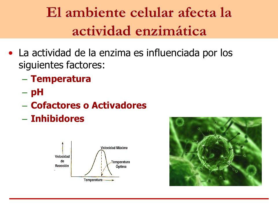 El ambiente celular afecta la actividad enzimática