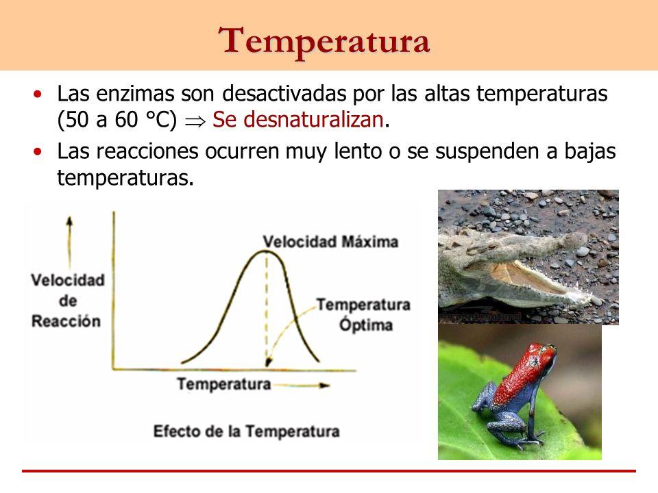 Temperatura Las enzimas son desactivadas por las altas temperaturas (50 a 60 °C)  Se desnaturalizan.