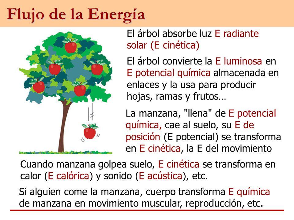 Flujo de la Energía El árbol absorbe luz E radiante solar (E cinética)