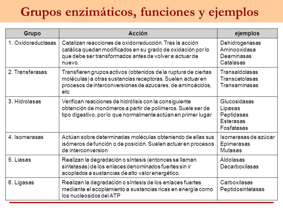 Grupos enzimáticos, funciones y ejemplos
