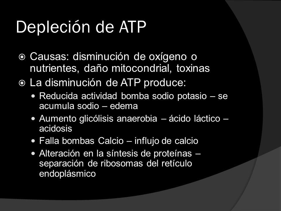 Depleción de ATP Causas: disminución de oxígeno o nutrientes, daño mitocondrial, toxinas. La disminución de ATP produce: