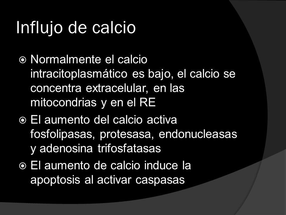 Influjo de calcio Normalmente el calcio intracitoplasmático es bajo, el calcio se concentra extracelular, en las mitocondrias y en el RE.