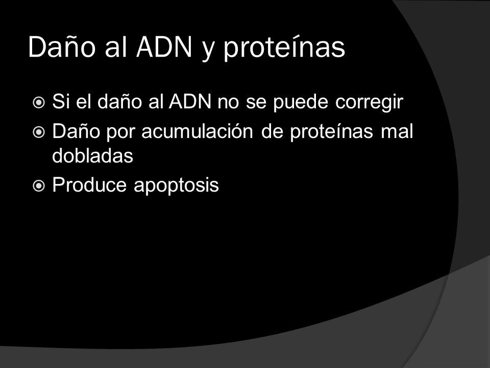Daño al ADN y proteínas Si el daño al ADN no se puede corregir