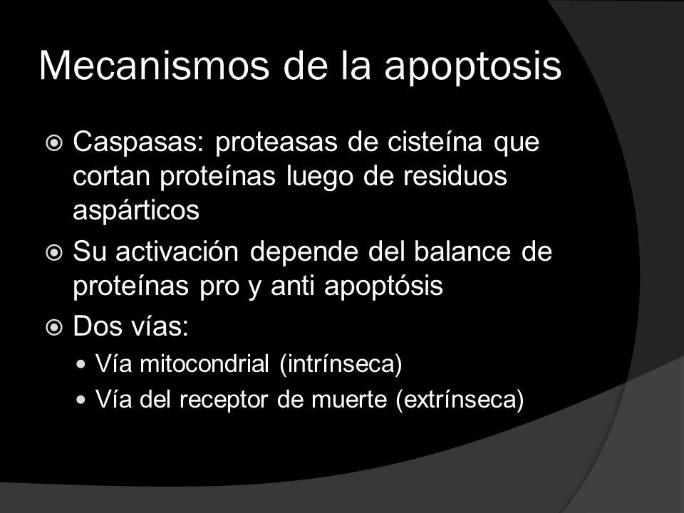 Mecanismos de la apoptosis
