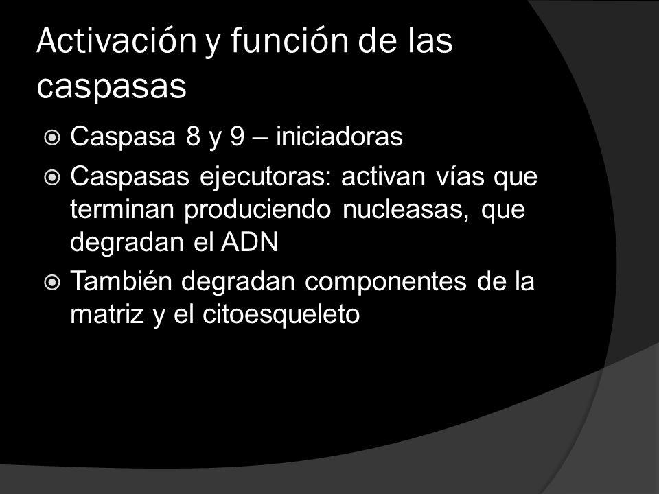 Activación y función de las caspasas