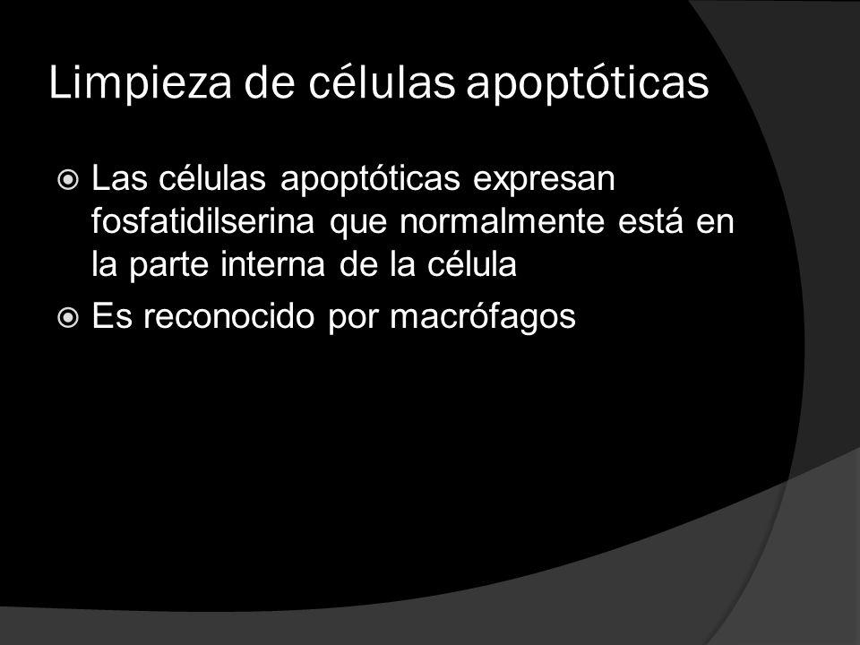 Limpieza de células apoptóticas