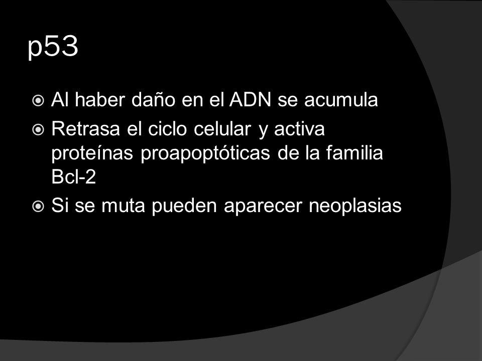p53 Al haber daño en el ADN se acumula