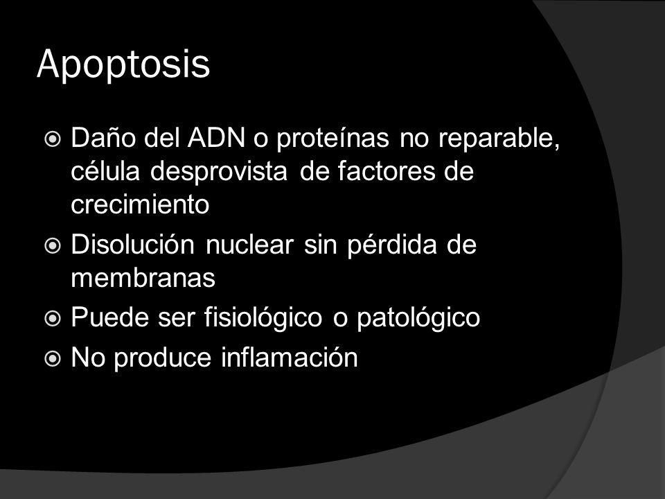 Apoptosis Daño del ADN o proteínas no reparable, célula desprovista de factores de crecimiento. Disolución nuclear sin pérdida de membranas.