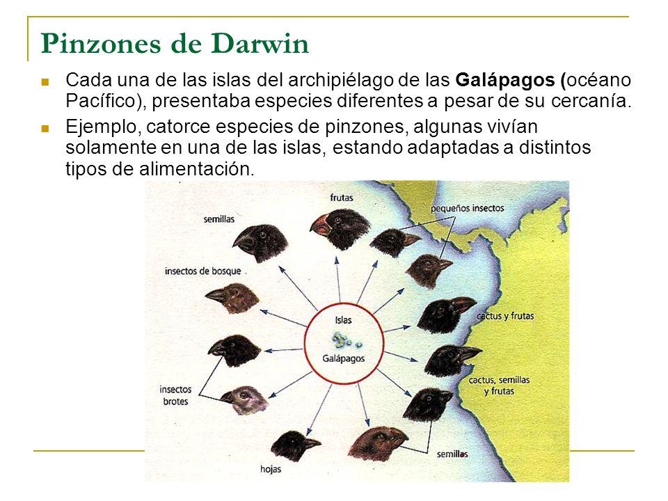 Pinzones de Darwin Cada una de las islas del archipiélago de las Galápagos (océano Pacífico), presentaba especies diferentes a pesar de su cercanía.