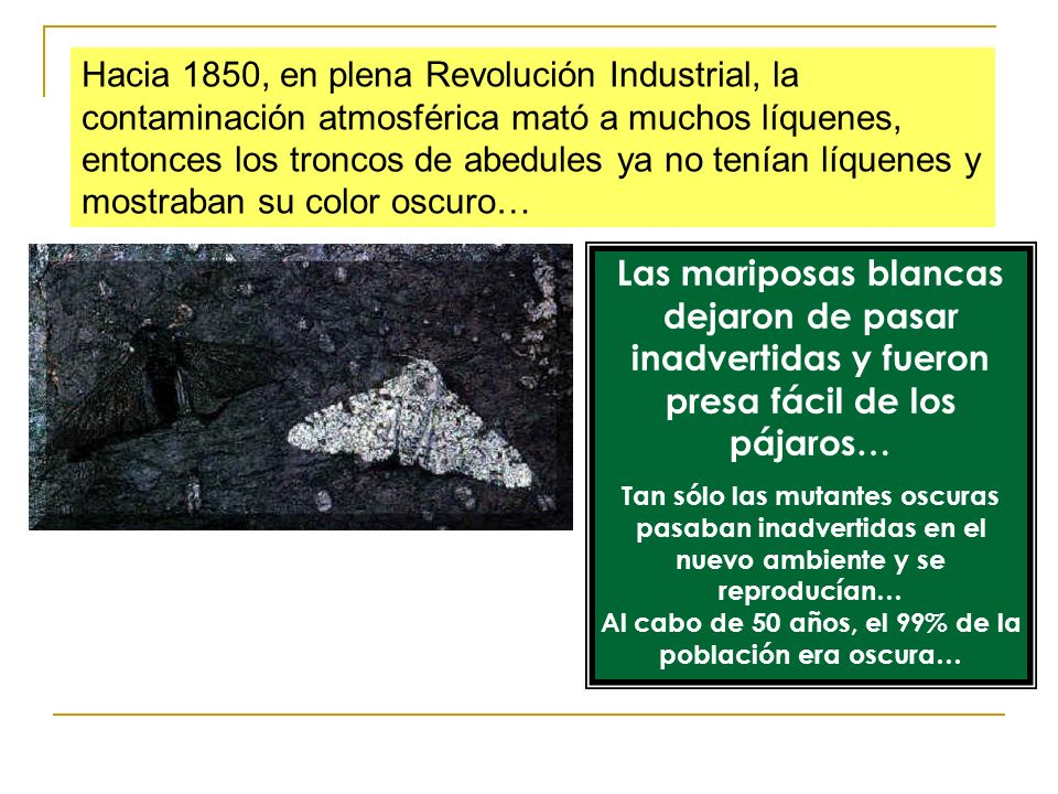 Hacia 1850, en plena Revolución Industrial, la contaminación atmosférica mató a muchos líquenes, entonces los troncos de abedules ya no tenían líquenes y mostraban su color oscuro…
