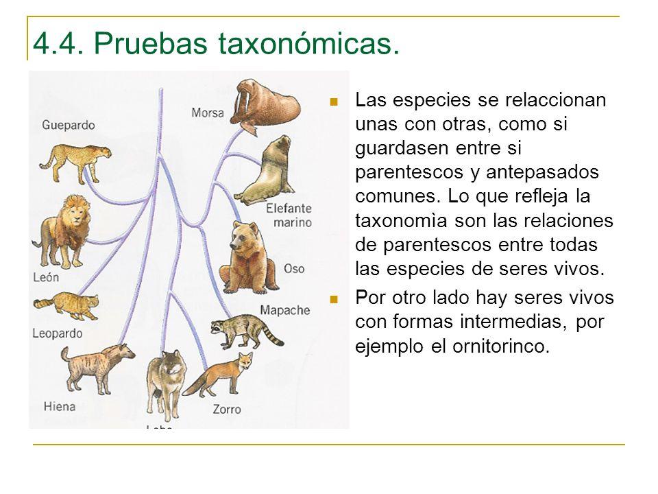 4.4. Pruebas taxonómicas.