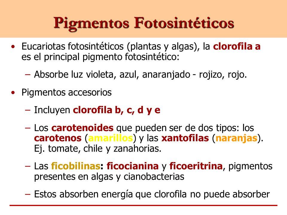 Pigmentos Fotosintéticos