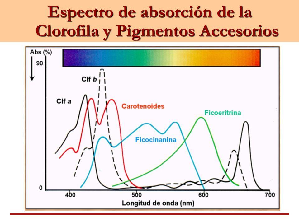 Espectro de absorción de la Clorofila y Pigmentos Accesorios