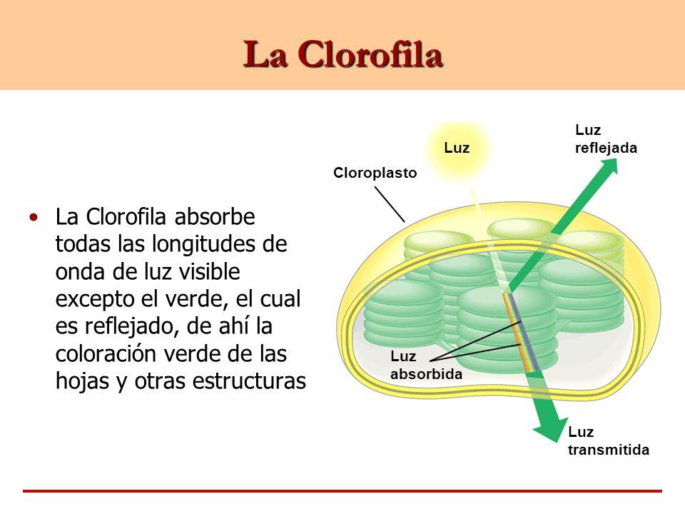 La Clorofila Luz. Cloroplasto. Luz reflejada. absorbida. transmitida.