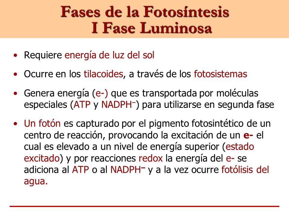 Fases de la Fotosíntesis I Fase Luminosa