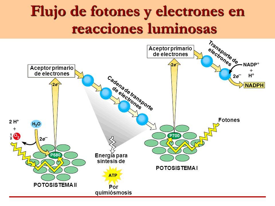 Flujo de fotones y electrones en reacciones luminosas