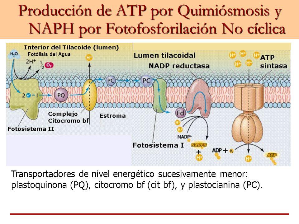 Producción de ATP por Quimiósmosis y NAPH por Fotofosforilación No cíclica