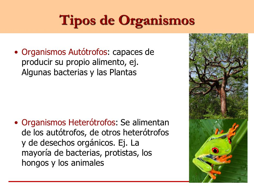 Tipos de Organismos Organismos Autótrofos: capaces de producir su propio alimento, ej. Algunas bacterias y las Plantas.