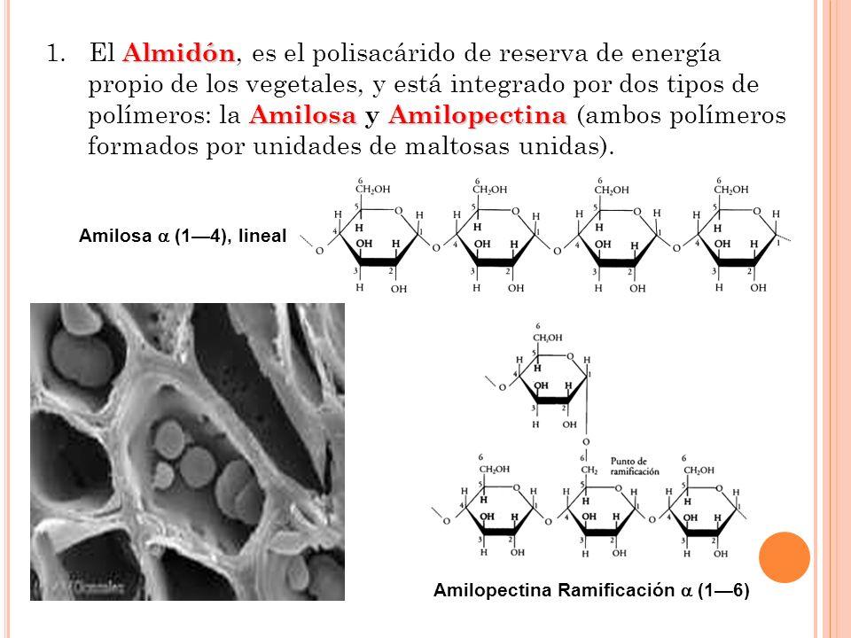 1. El Almidón, es el polisacárido de reserva de energía propio de los vegetales, y está integrado por dos tipos de polímeros: la Amilosa y Amilopectina (ambos polímeros formados por unidades de maltosas unidas).