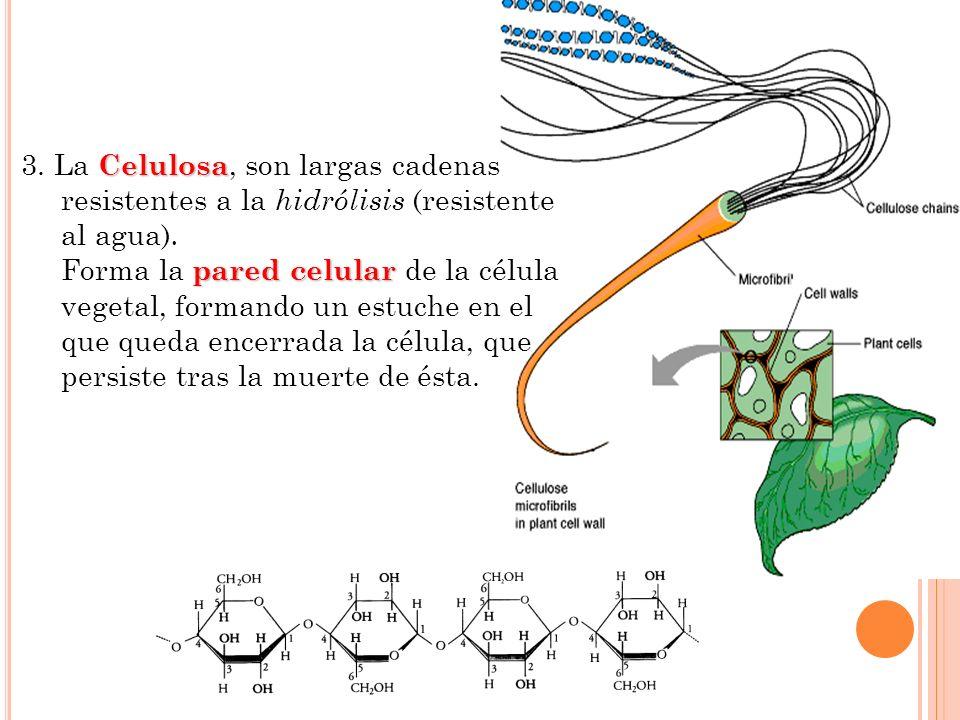 3. La Celulosa, son largas cadenas resistentes a la hidrólisis (resistente al agua).