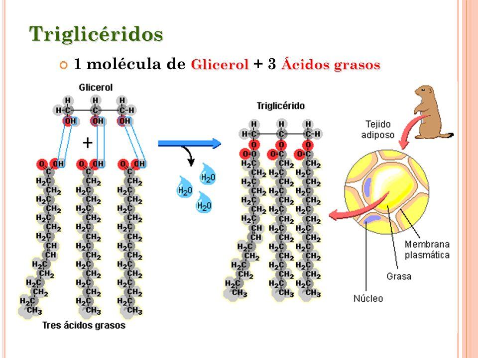 1 molécula de Glicerol + 3 Ácidos grasos