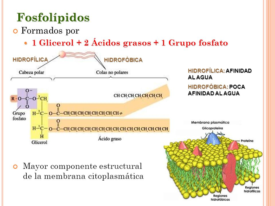 Fosfolípidos Formados por