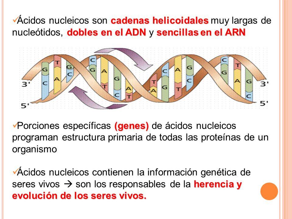 Ácidos nucleicos son cadenas helicoidales muy largas de nucleótidos, dobles en el ADN y sencillas en el ARN