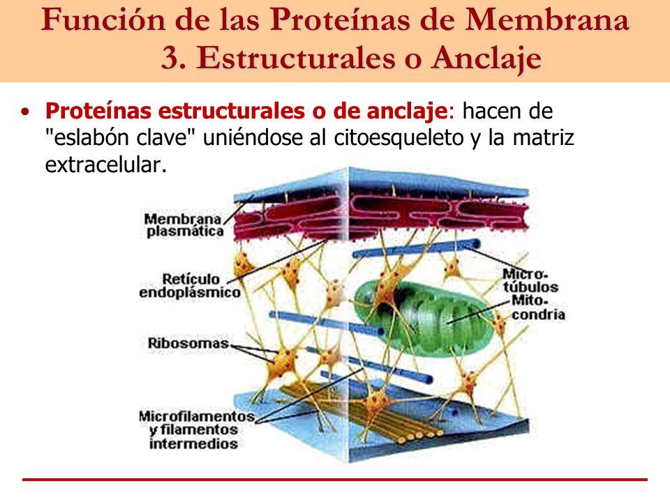 Función de las Proteínas de Membrana 3. Estructurales o Anclaje