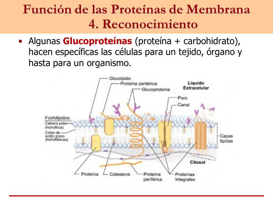 Función de las Proteínas de Membrana 4. Reconocimiento