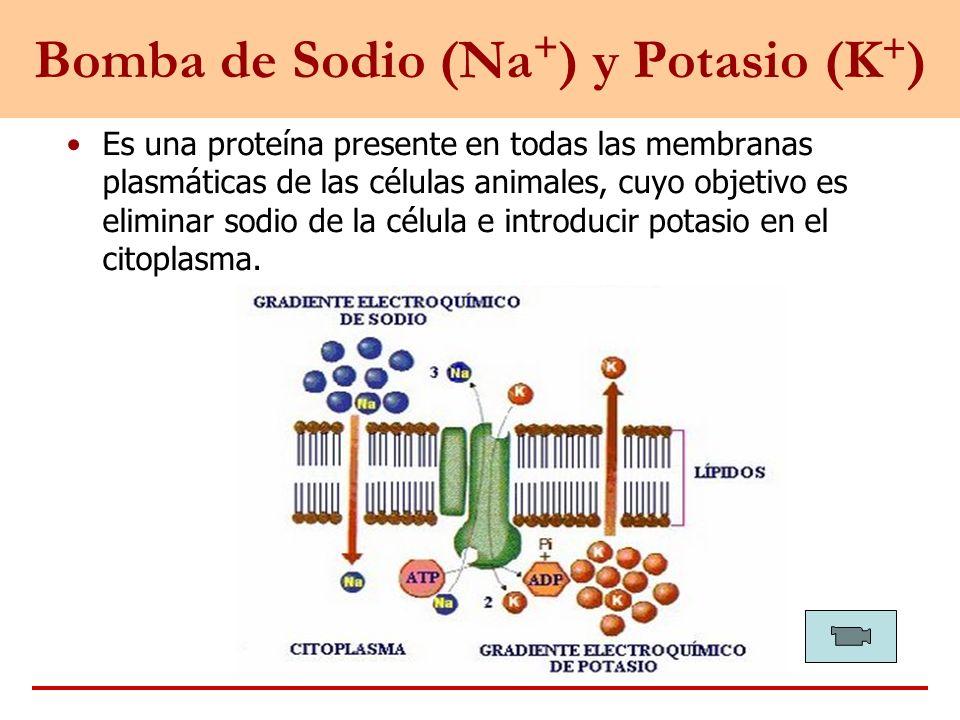 Bomba de Sodio (Na+) y Potasio (K+)