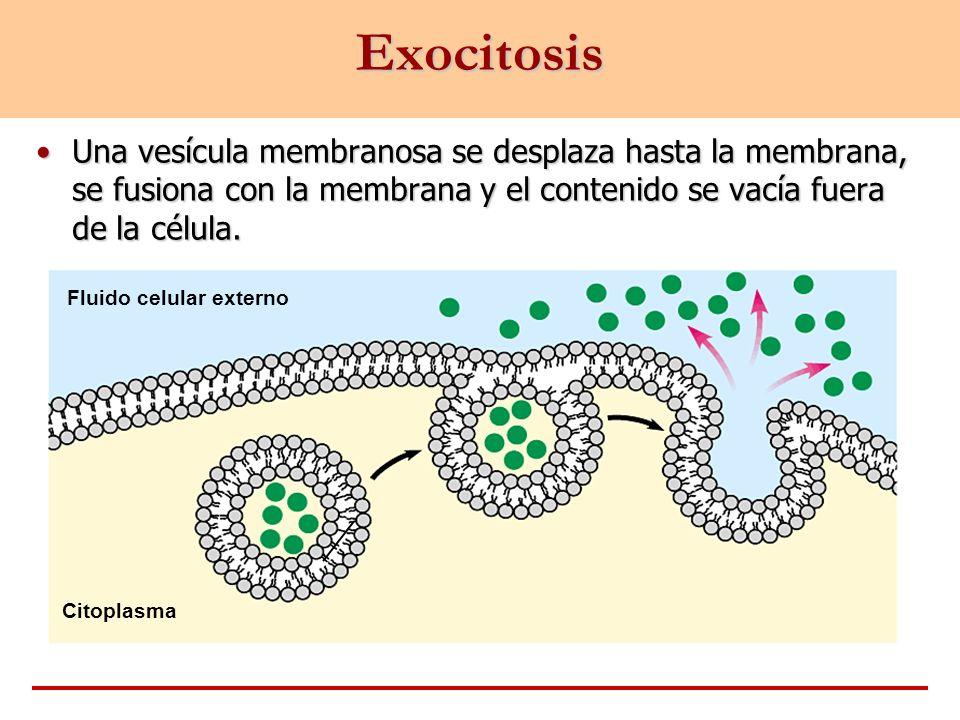Exocitosis Una vesícula membranosa se desplaza hasta la membrana, se fusiona con la membrana y el contenido se vacía fuera de la célula.