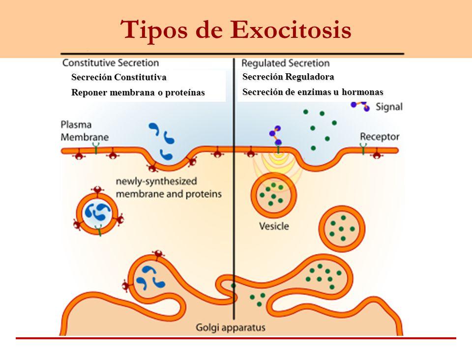 Tipos de Exocitosis Secreción Constitutiva
