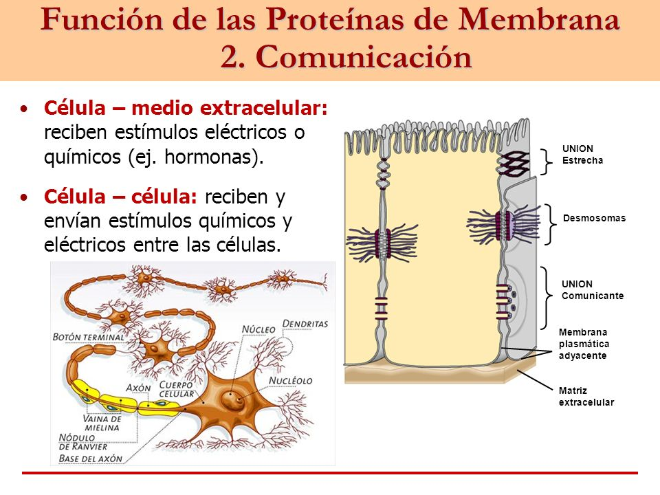 Función de las Proteínas de Membrana 2. Comunicación