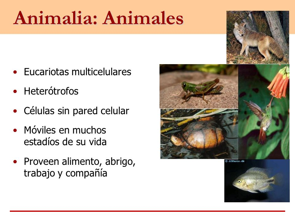 Animalia: Animales Eucariotas multicelulares Heterótrofos
