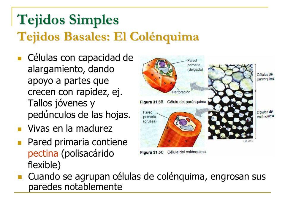 Tejidos Simples Tejidos Basales: El Colénquima