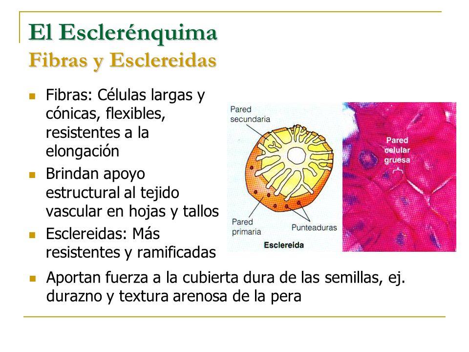 El Esclerénquima Fibras y Esclereidas