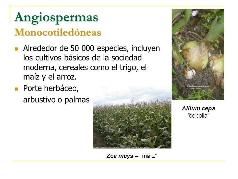 Angiospermas Monocotiledóneas