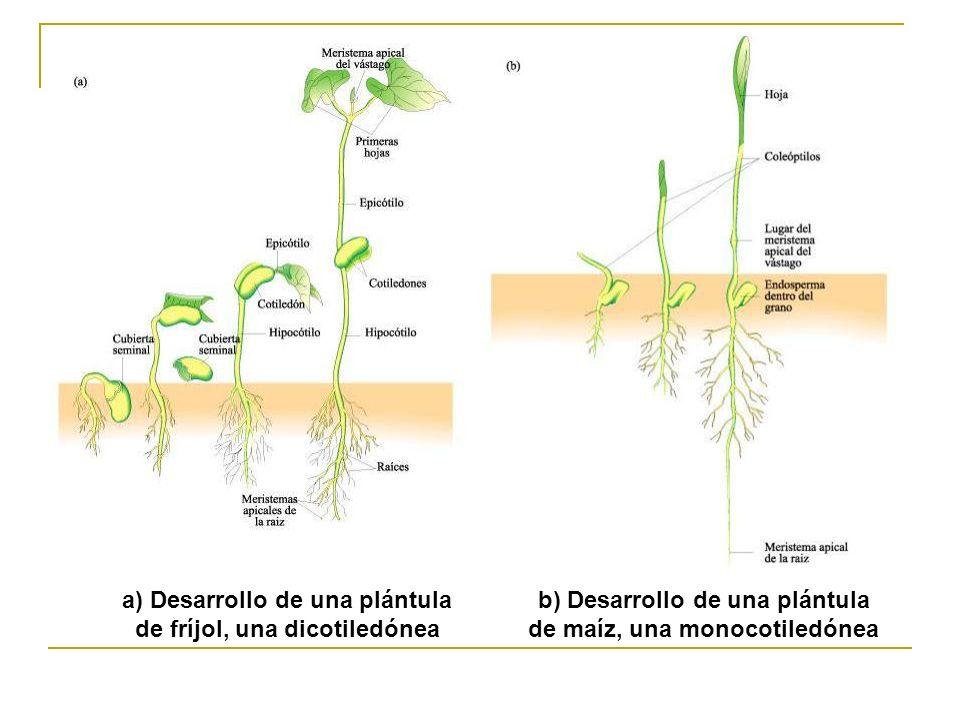 a) Desarrollo de una plántula de fríjol, una dicotiledónea