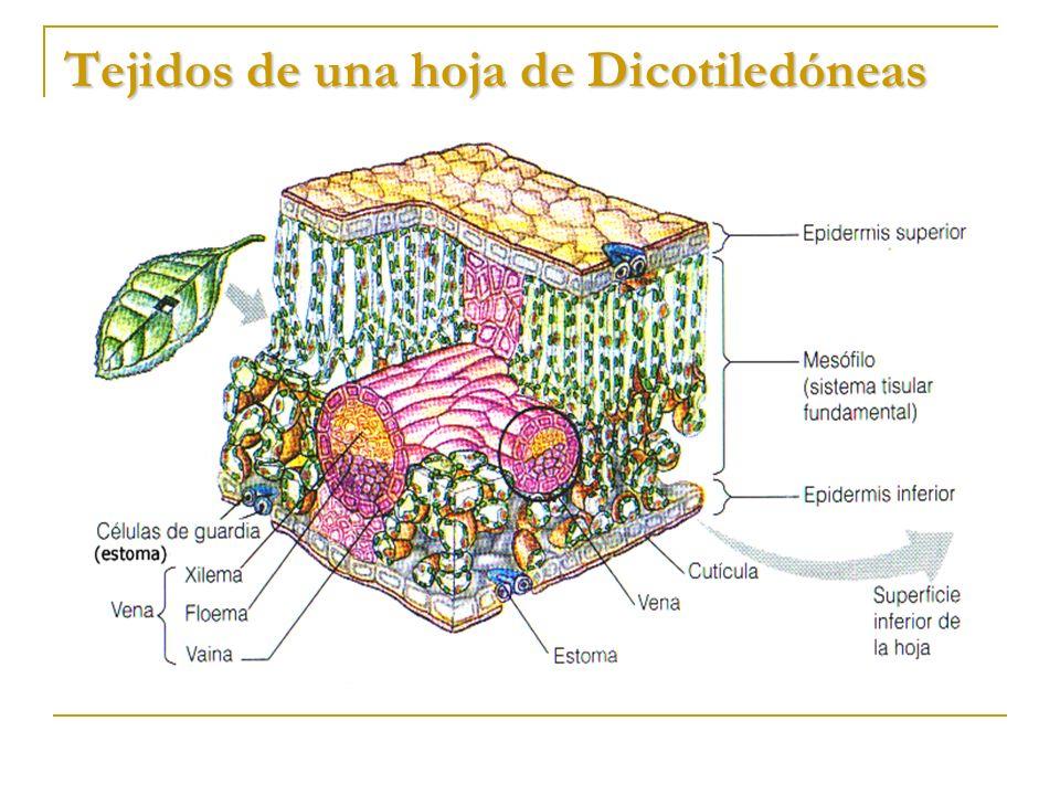 Excepcional Anatomía Tejido De Las Hojas Molde - Imágenes de ...