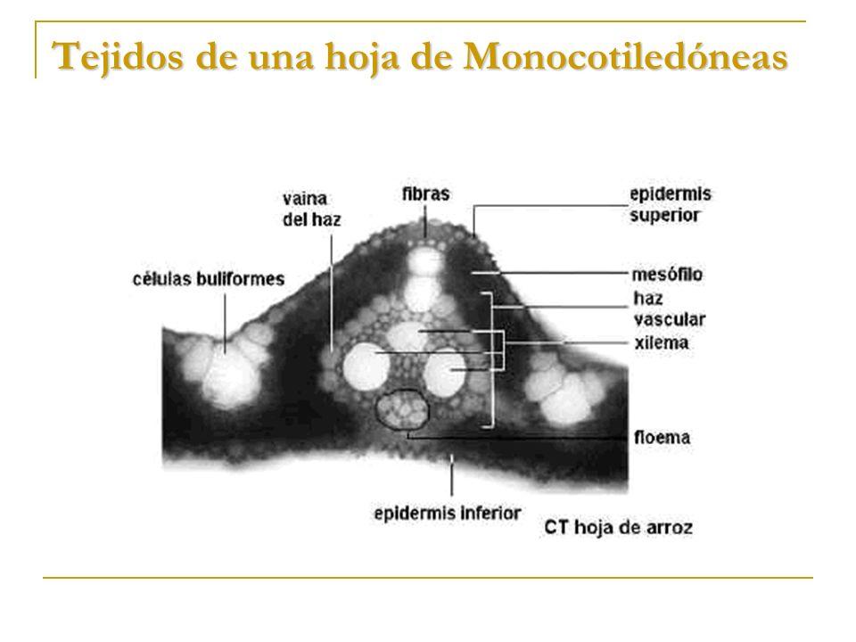 Tejidos de una hoja de Monocotiledóneas
