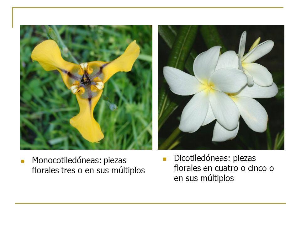 Dicotiledóneas: piezas florales en cuatro o cinco o en sus múltiplos